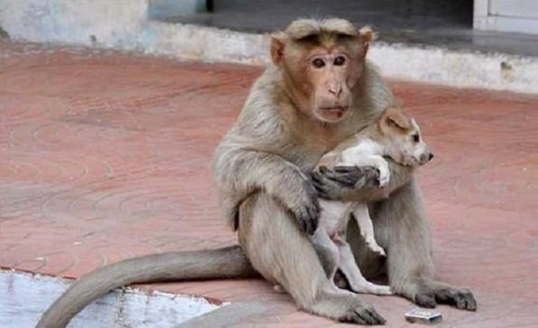 Cảm động câu chuyện khỉ làm mẹ và… chó là con
